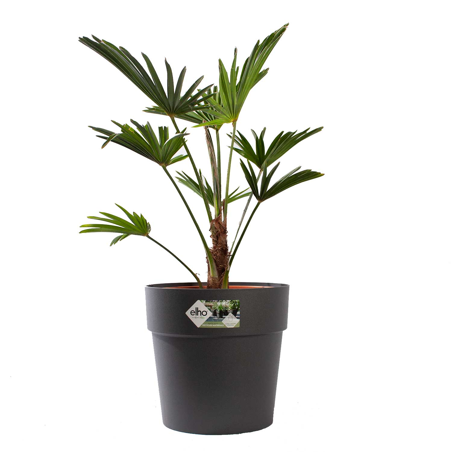 WagnerPalm